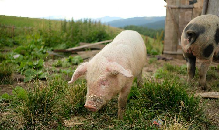 Lenkijoje toliau plinta kiaulių maras, per savaitę – 10 atvejų