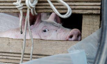 Stambiame kiaulių ūkyje Lenkijoje – afrikinio kiaulių maro židinys