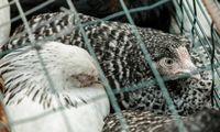 EK sieks drausti gyvūnų auginimą narvuose
