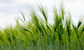 Kaitra grūdininkams neleidžia tikėtis rekordinio derliaus