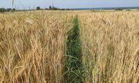 Lietuvos grūdų augintojų asociacija: derlius bus mažesnis, kokybė prastesnė