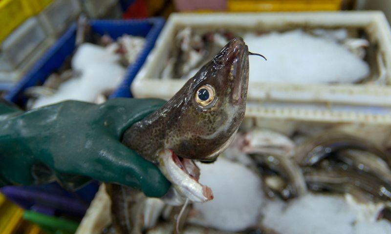 Žvejų laimikis - menkės. Algimanto Kalvaičio nuotr.