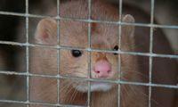 Latvija ketina pasekti Estijos pavyzdžiu ir uždrausti kailinių gyvūnų auginimą