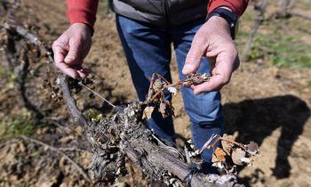Vynuogių derlius Europoje signalizuoja apie aukštesnes vyno kainas