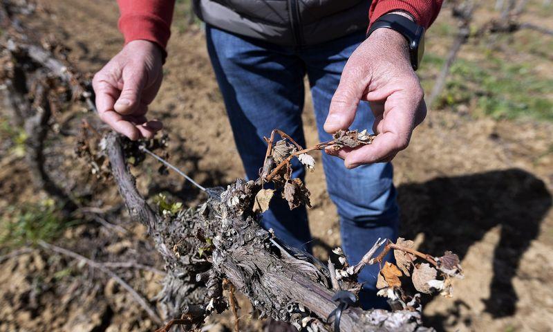 """Šalnų nuniokoti vynmedžiai Prancūzijoje, 2021 m. balandžio 12 d. Guillaume Bonnefont (IP3 /  """"ZUMA Press"""" / """"Scanpix"""") nuotr."""